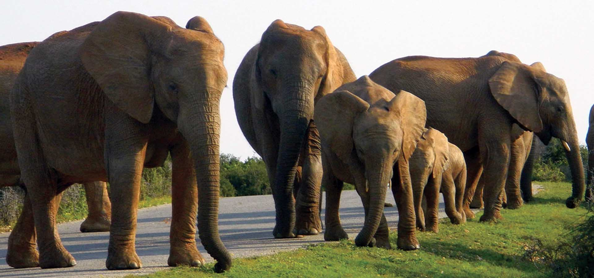 PE Addo Elephants